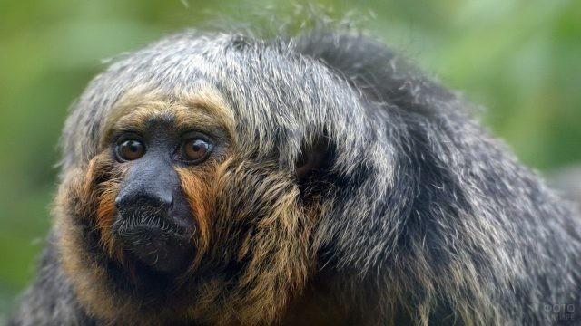 Пушистая обезьянка необычной расцветки