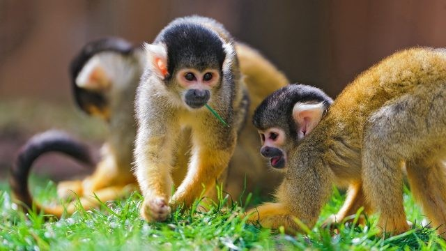 Рыжие обезьянки с чёрными мордочками