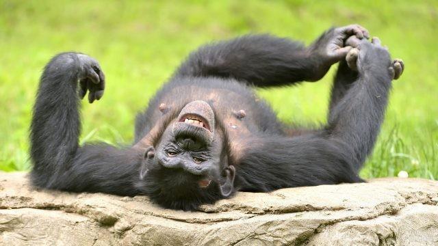 Шимпанзе лежит на спине и хохочет