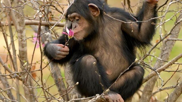 Шимпанзе нюхает цветочек