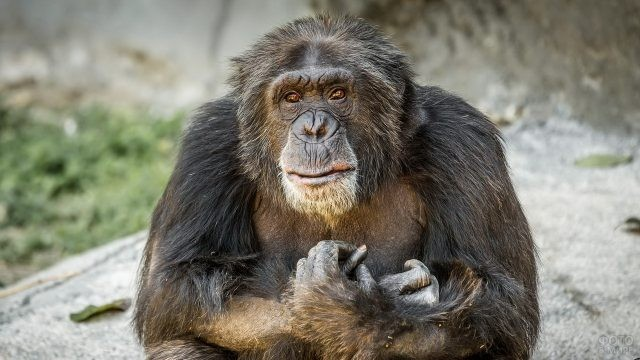 Шимпанзе с обиженным взглядом