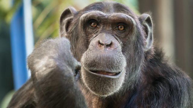 Старый шимпанзе крупным планом