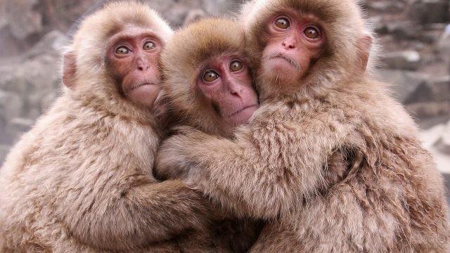 Три обезьянки сидят в обнимку