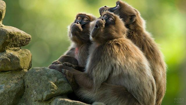Три обезьянки со смешными мордами