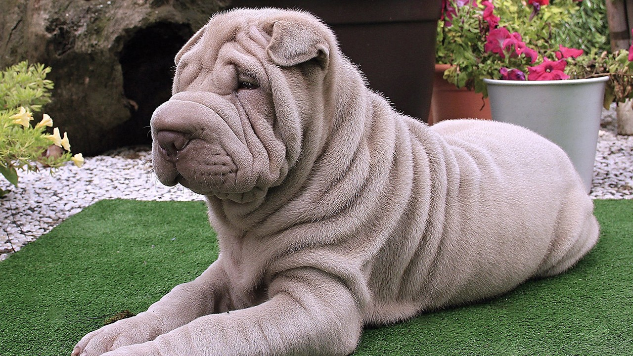 Покажи фото собаки шарпей