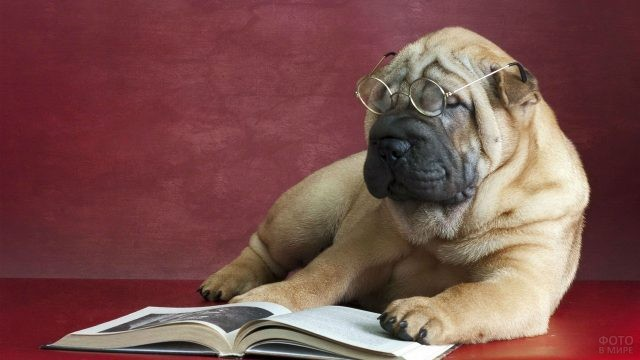Шарпей в очках читает книгу