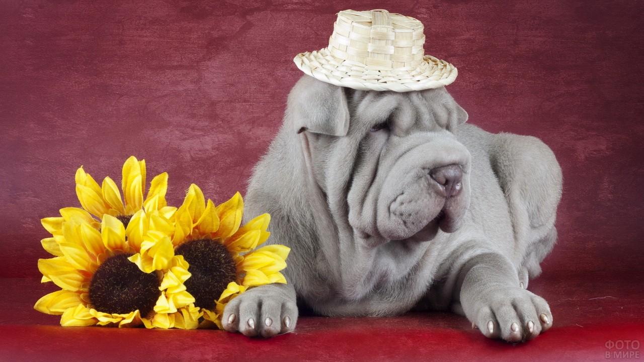 Шарпей в соломенной шляпе на фотосессии с подсолнухами