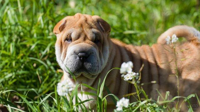 Собака лежит на траве в цветах