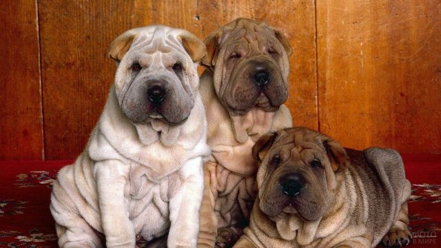 Три щенка шарпея на продажу
