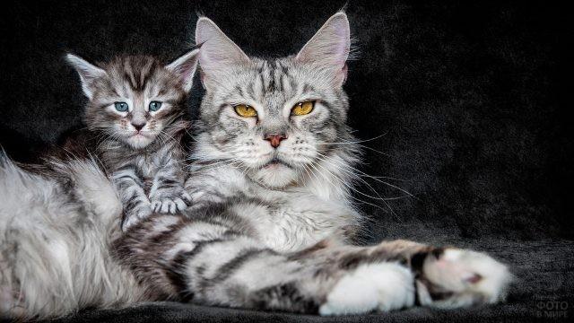 Серый мейн-кун с котёнком