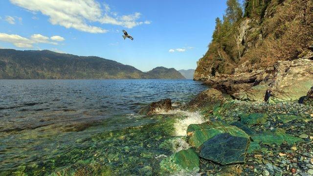 Птица над изумрудными камнями возле берега Телецкого озера