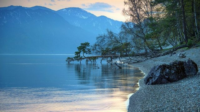 Старый лес на пологом берегу Телецкого озера на закате дня