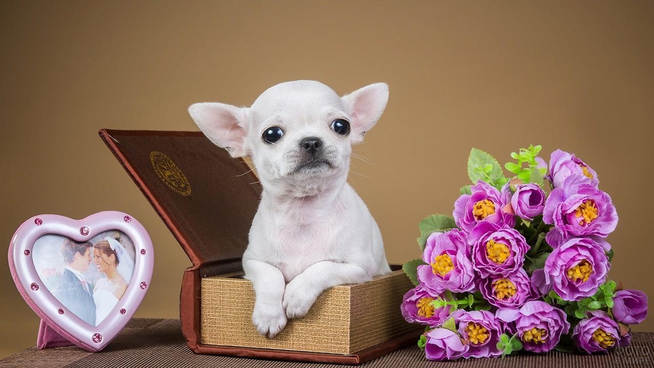 Чихуахуа позирует в книжке-шкатулке с цветами и фоторамкой