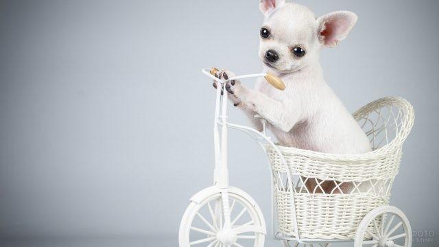Чихуахуа за рулём велосипеда