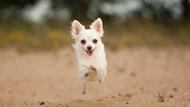 Довольный пёс в прыжке