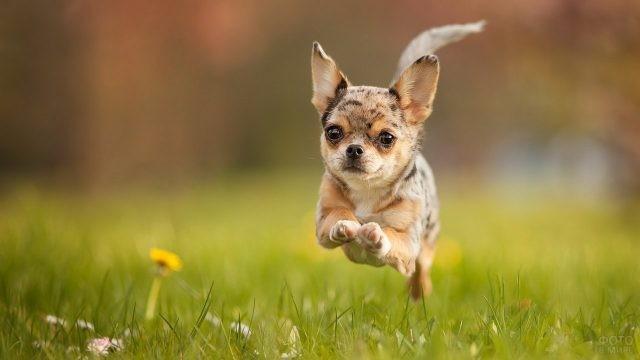 Пёс совершает прыжок над травой