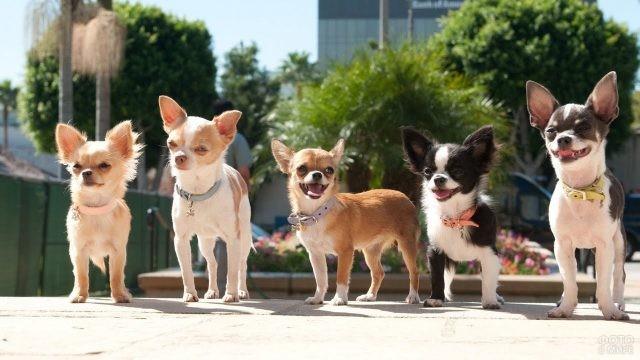 Собачки чихуахуа на прогулке