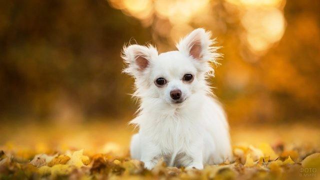 Собака чихуахуа и золотая осень