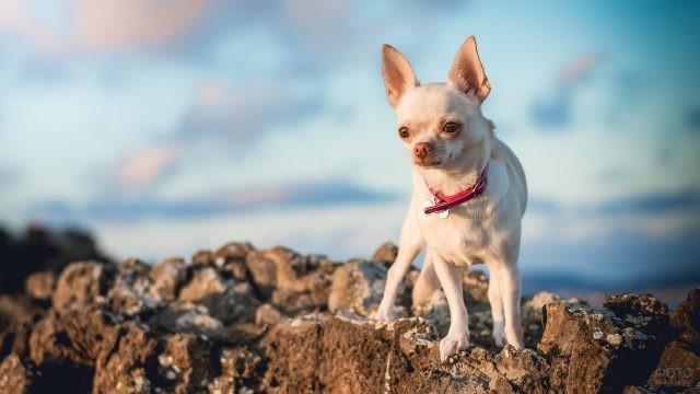 Собака чихуахуа на скалистой местности
