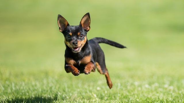 Собака чихуахуа в прыжке