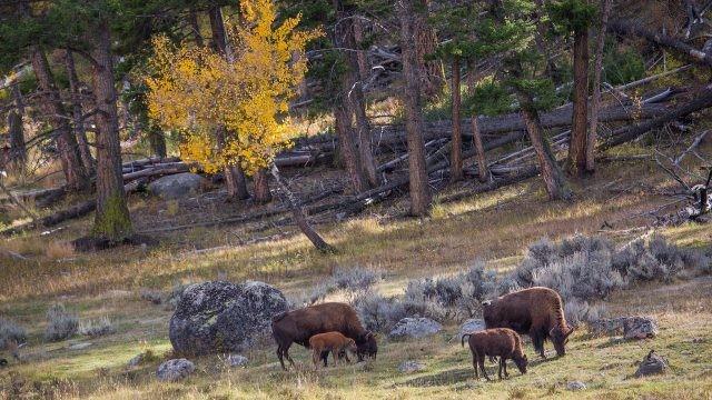 Бизоны пасутся вблизи леса