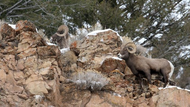 Горные козлы на отвестной скале национального парка