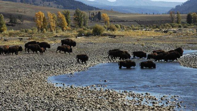 Стадо бизонов переходят ручей
