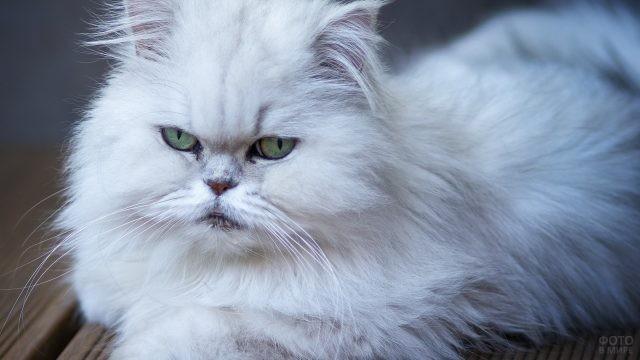 Белая кошечка персидской породы