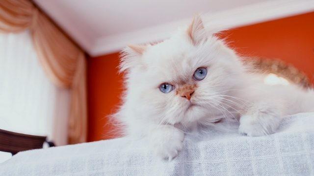 Белая персидская кошечка сидит на столе
