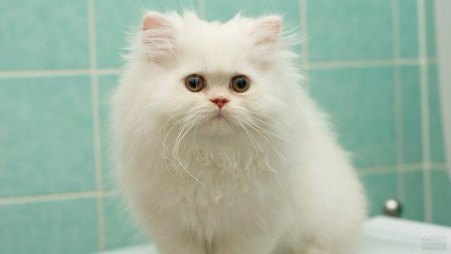 Беленькая персидская кошечка сидит в ванной