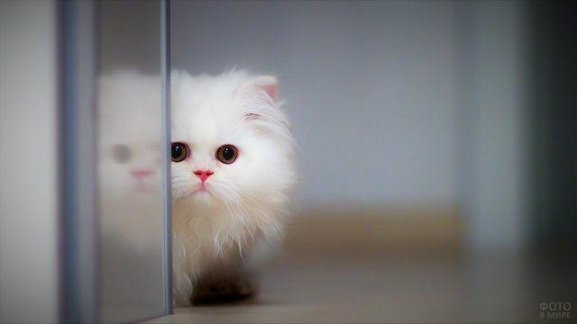 Белый персидский котёнок выглядывает из-за угла