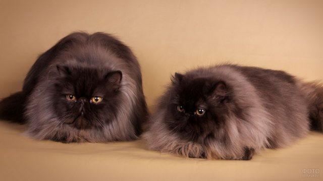 Две персидских кошечки