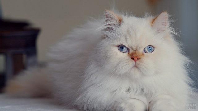 Голубоглазый персидский котик