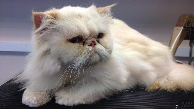 Грустный персидский котик