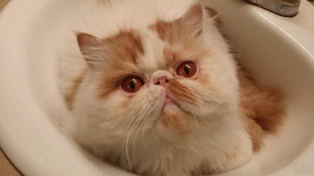 Котик персидской породы лежит в раковине