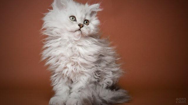 Котёнок персидской породы на коричневом фоне