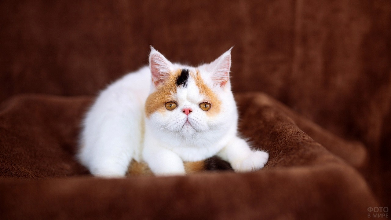 Маленькая персидская киска сидит на коричневом пледе