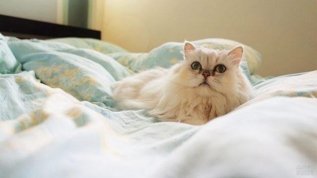 Молодая киска персидской породы лежит на кровати
