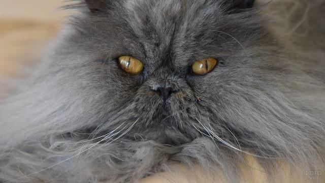 Мордочка пушистого персидского кота