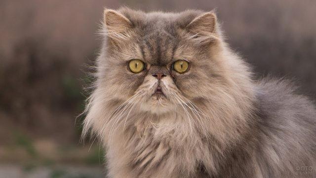Персидский кот с жёлтыми глазками