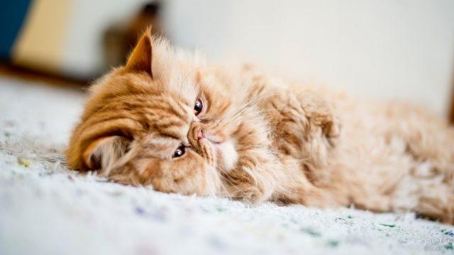 Персидский кот завалился на бочок