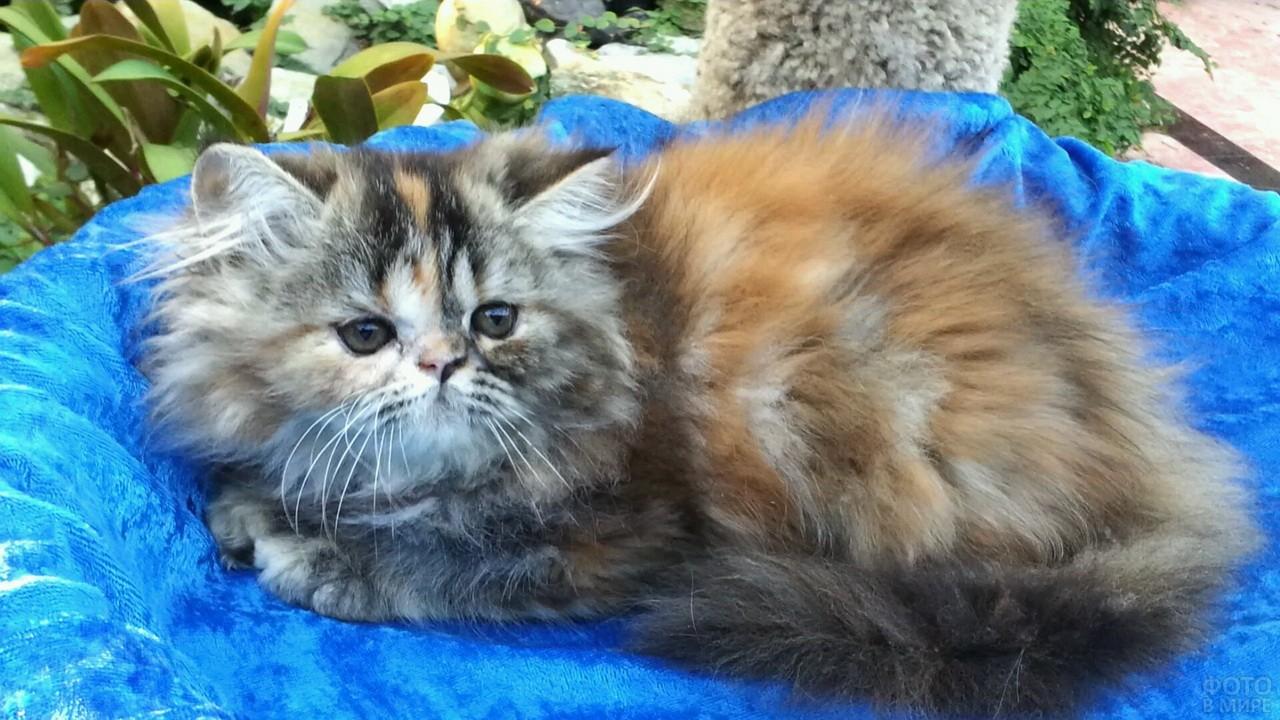 Персидский котёночек лежит на голубом пледе
