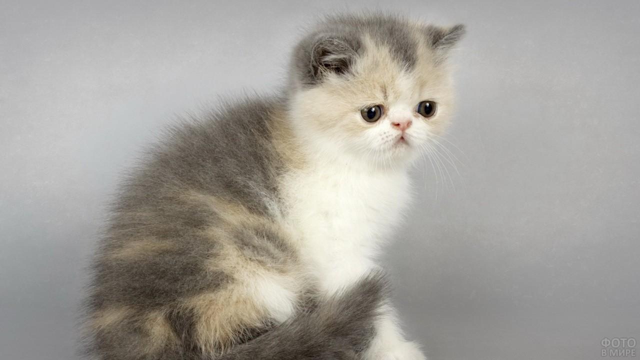 Пушистый котёнок персидской породы на сером фоне