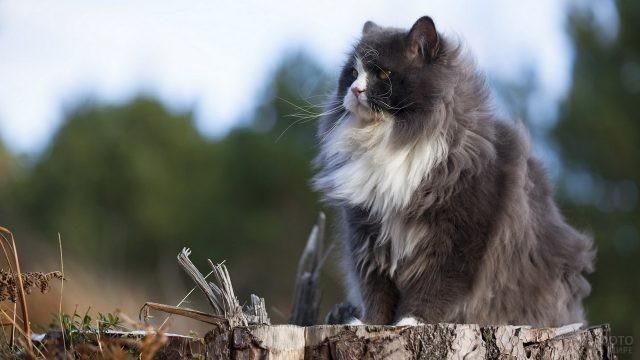 Пушистый персидский кот сидит на пеньке