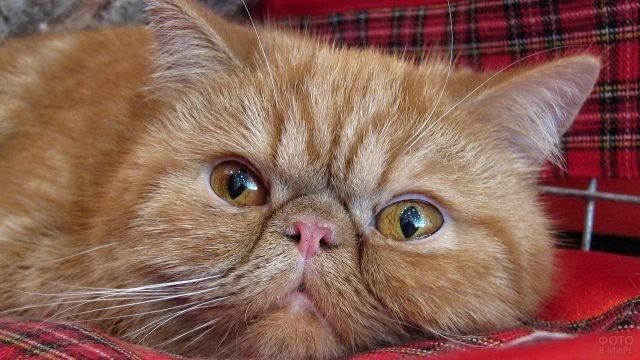 Рыженькая персидская киса лежит на клетчатом пледике