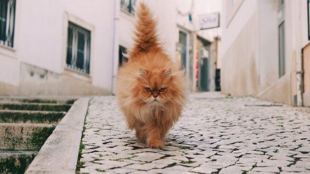 Рыжий персидский кот гуляет по улице