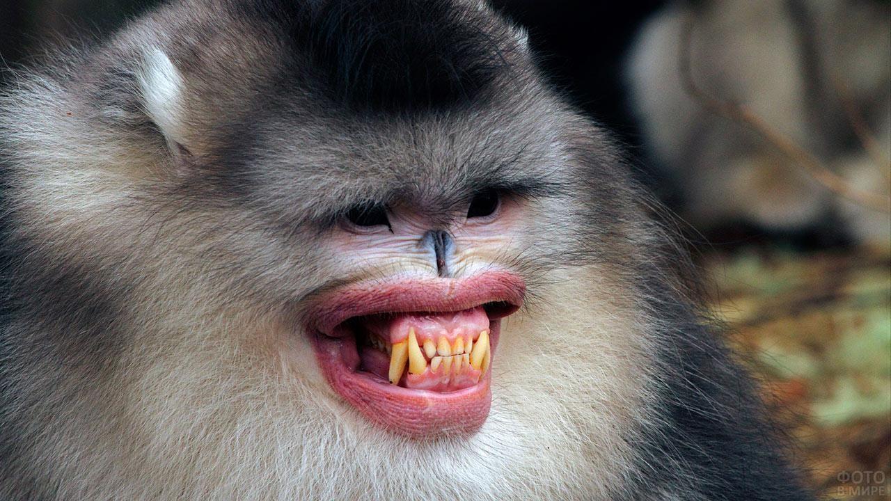 Бирманская курносая обезьяна с задранными вверх ноздрями