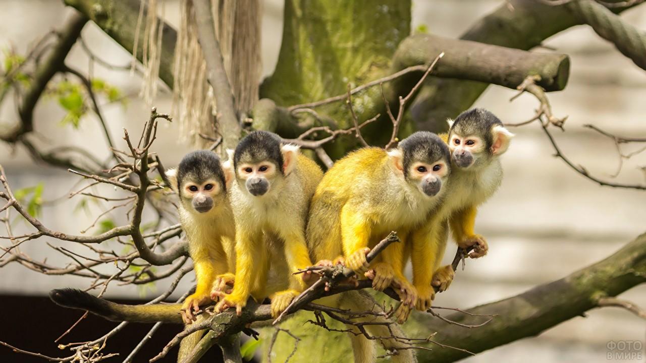 Четыре обезьянки породы саймири