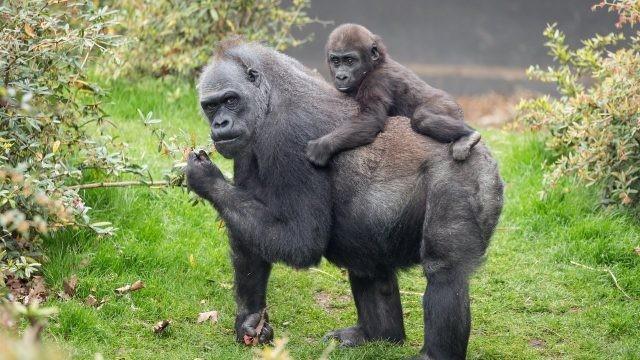 Чёрная горилла со своим детёнышем