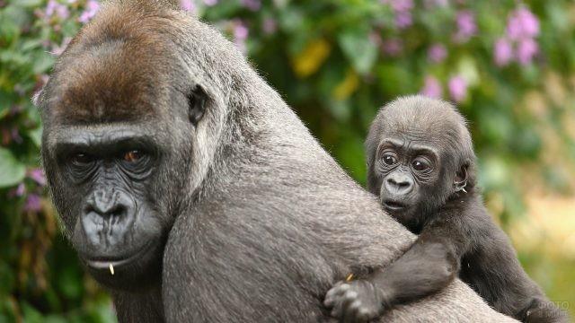 Малыш гориллы сидит сверху на маме